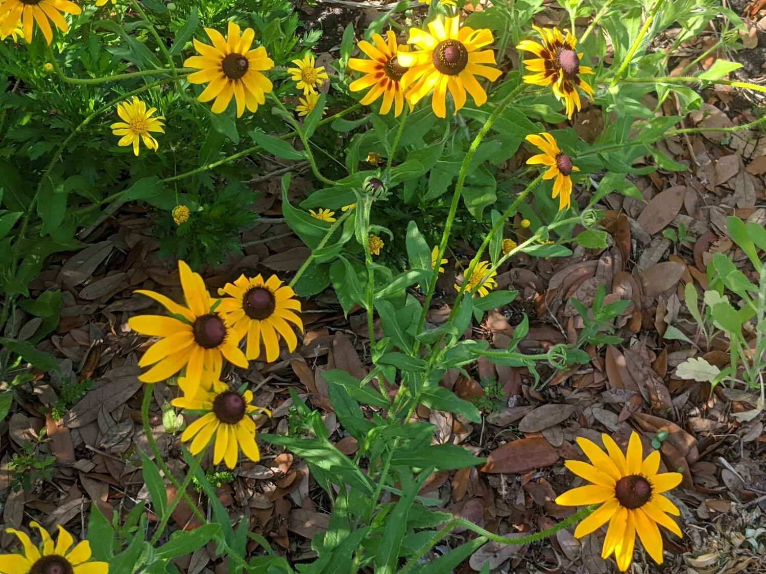 1 Gallon Potted Black-Eyed Susan Plant