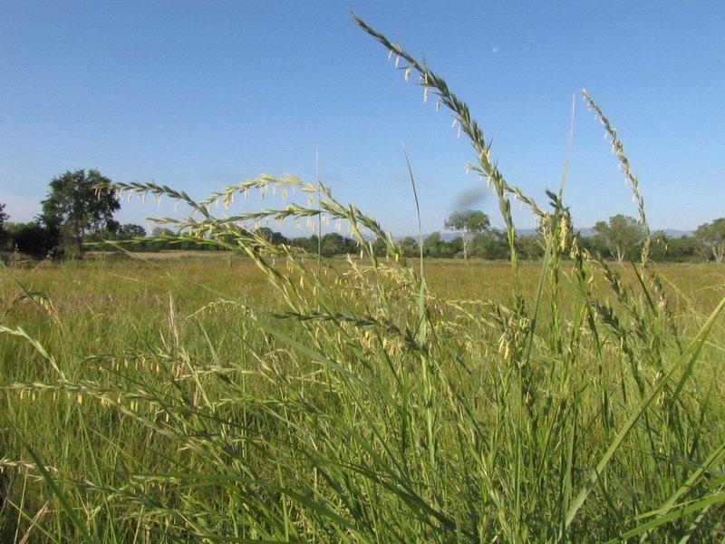 Elymus triticoides, creeping wildrye