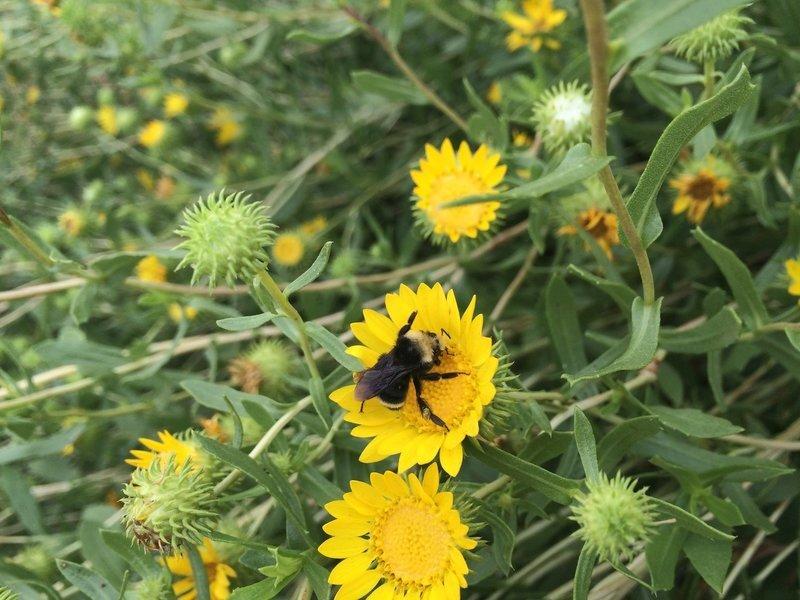 Grindelia camporum, gum plant