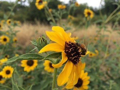 Helianthus bolanderi, Bolander's sunflower