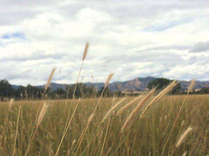 Hordeum brachyantherum ssp. californicum, California barley