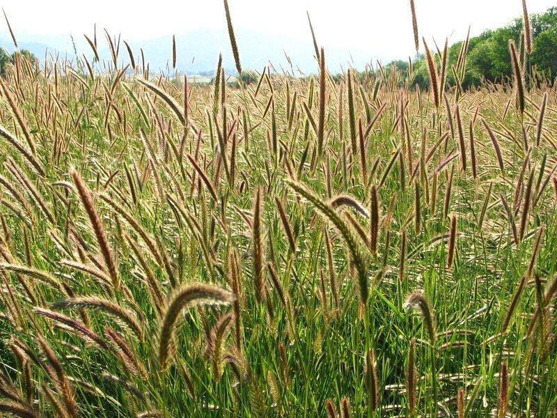 Hordeum brachyantherum, meadow barley