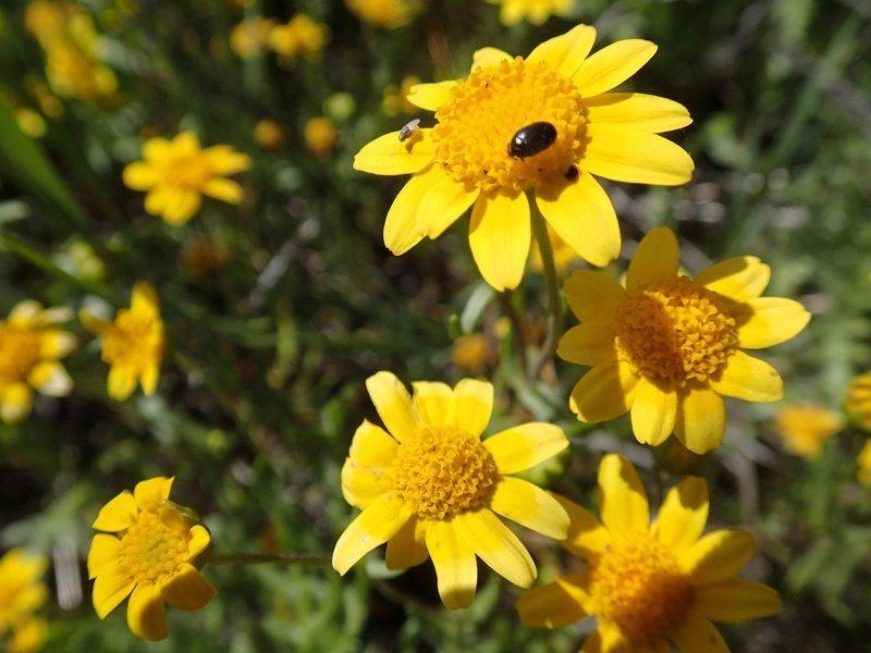 Lasthenia glabrata, yellow ray goldfields