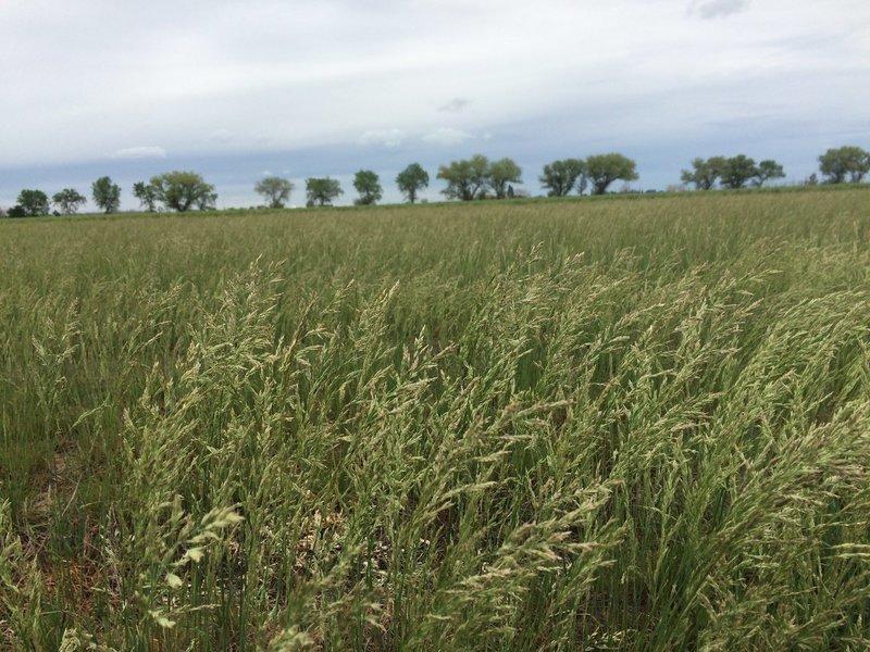Poa secunda ssp. secunda, one sided blue grass