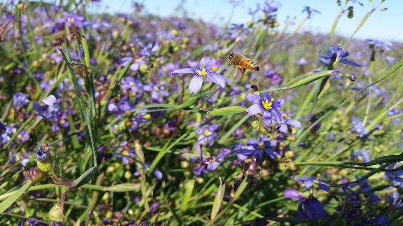 Sisyrinchium bellum, blue eyed grass