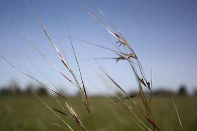 Stipa pulchra, purple needle grass