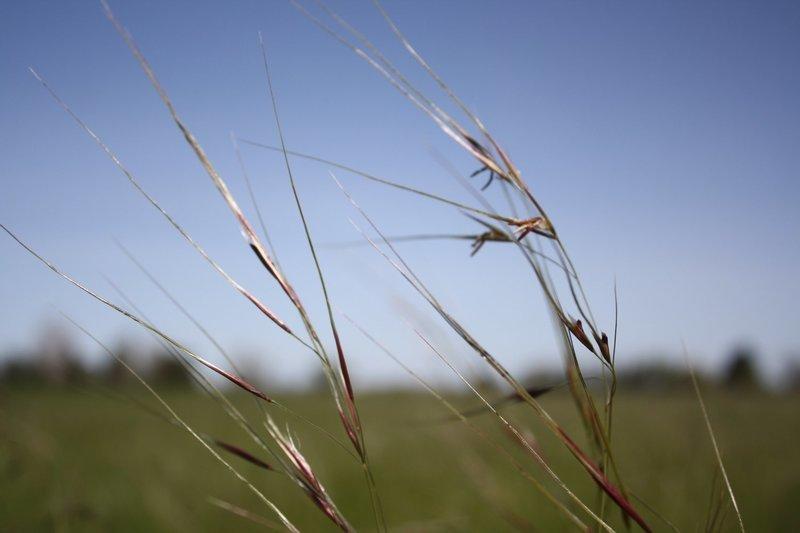 Stipa pulchra, purple needle grass