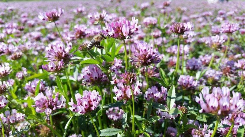 Trifolium willdenovii, tomcat clover