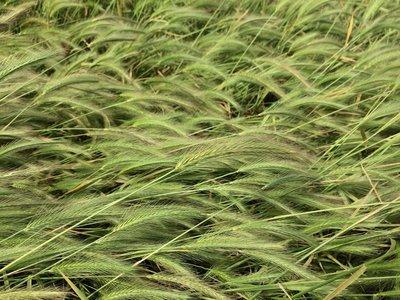 Hordeum depressum, alkali barley