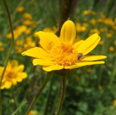 Lasthenia fremontii, Fremont's goldfields