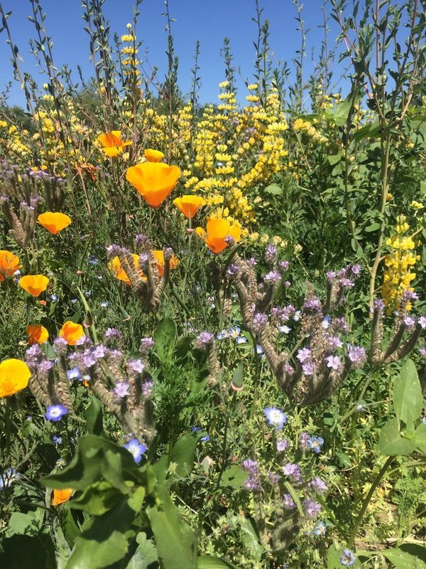Central Valley Pollinator Mix
