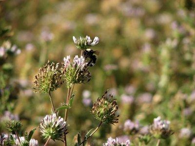 Trifolium obtusiflorum, creek clover
