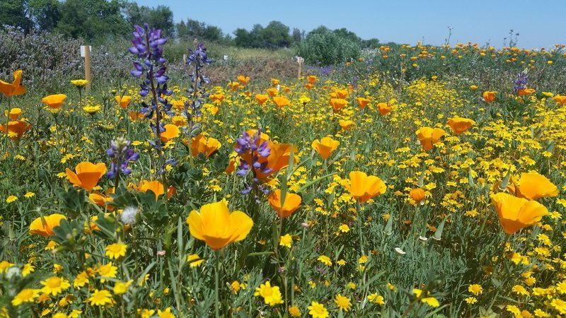 Bay Area Wildflower Mix