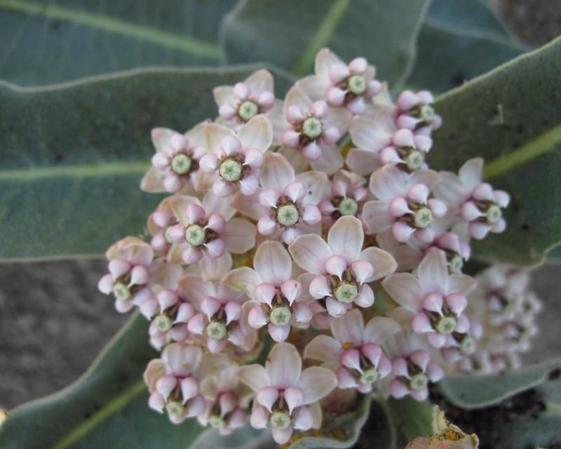 Asclepias eriocarpa, Indian milkweed seed