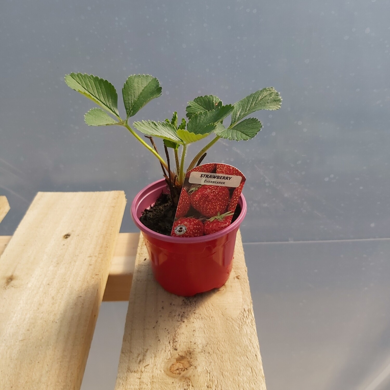 Strawberry Plants - Elsanta