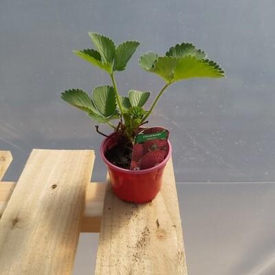 Strawberry Plants - Honeoye