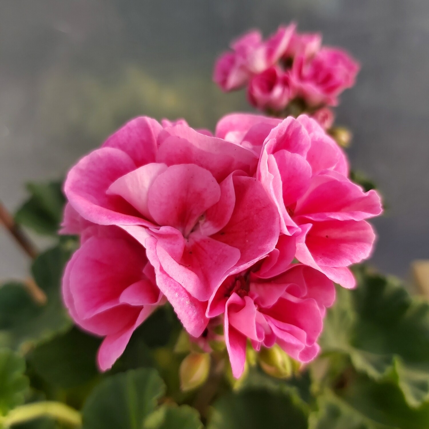 Geranium - Zonal - 1L - various colours