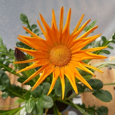 Gazania - Orange