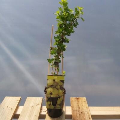 Gooseberry - Captivator
