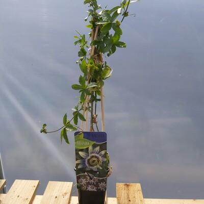 Passiflora caerulea - Blue