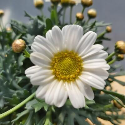 Argyranthemum - White