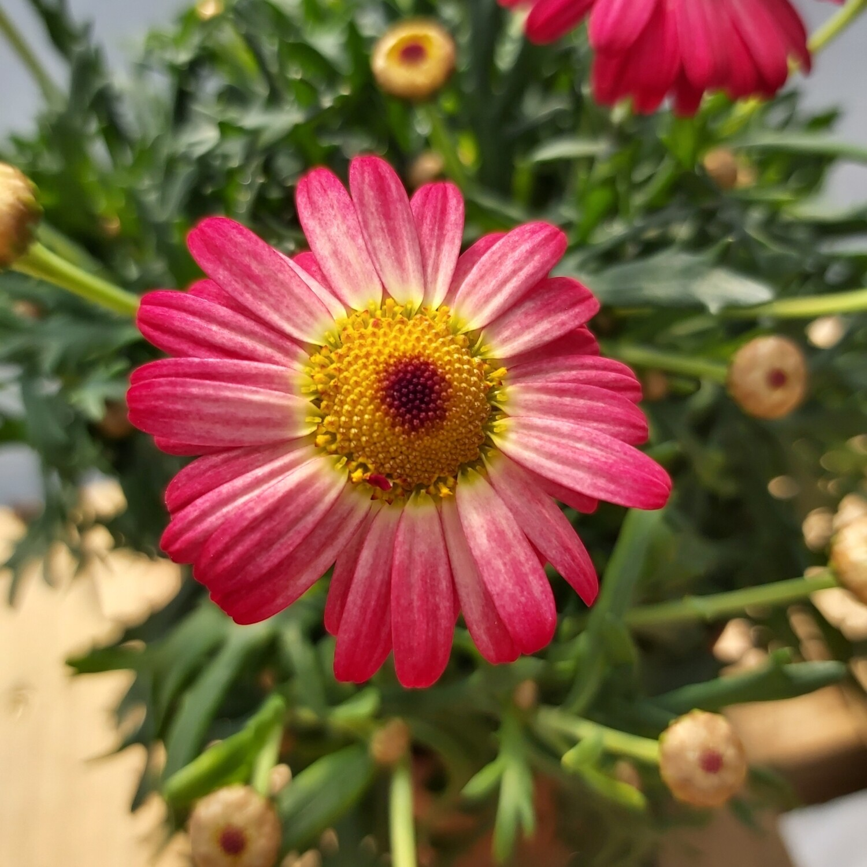 Argyranthemum - Red