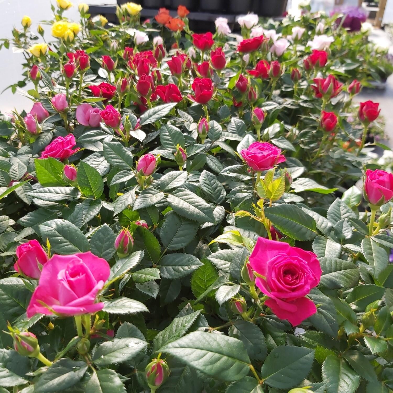 Rose - Miniature - Various colours