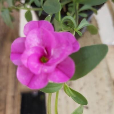 Calibrachoa - Pink