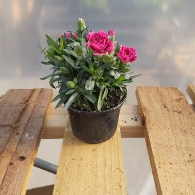 Dianthus - Medium - Various colours