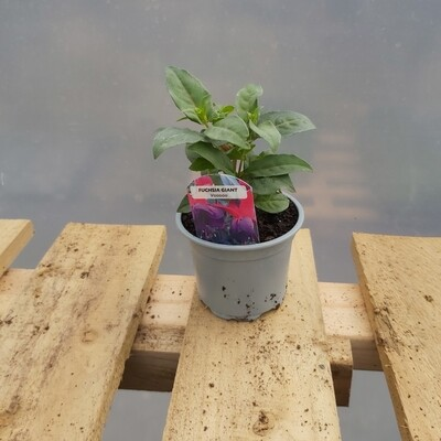 Fuchsia - Small - Various