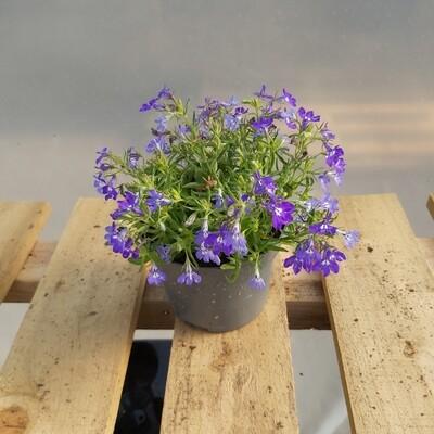 Lobelia - blue