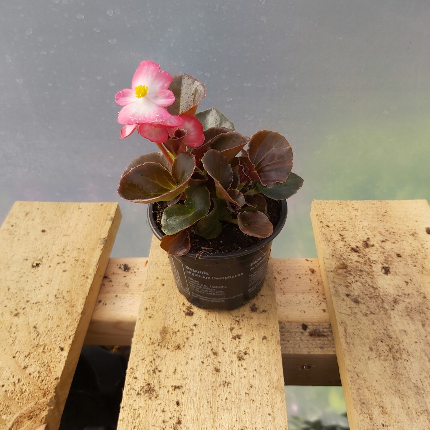 Begonia - Upright - Various Colours