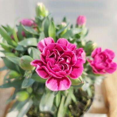 Dianthus - Various colours - (large)