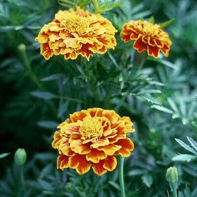 Marigold - French - Various Colours -  9 Pack