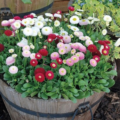 Bellis - 6 pack - Mixed colours