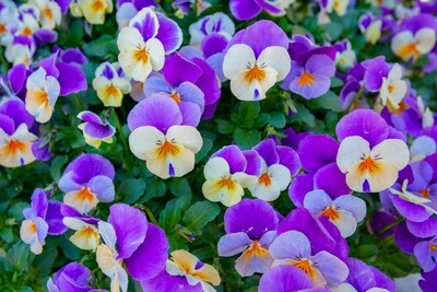 Viola - 6 pack - Mixed colours