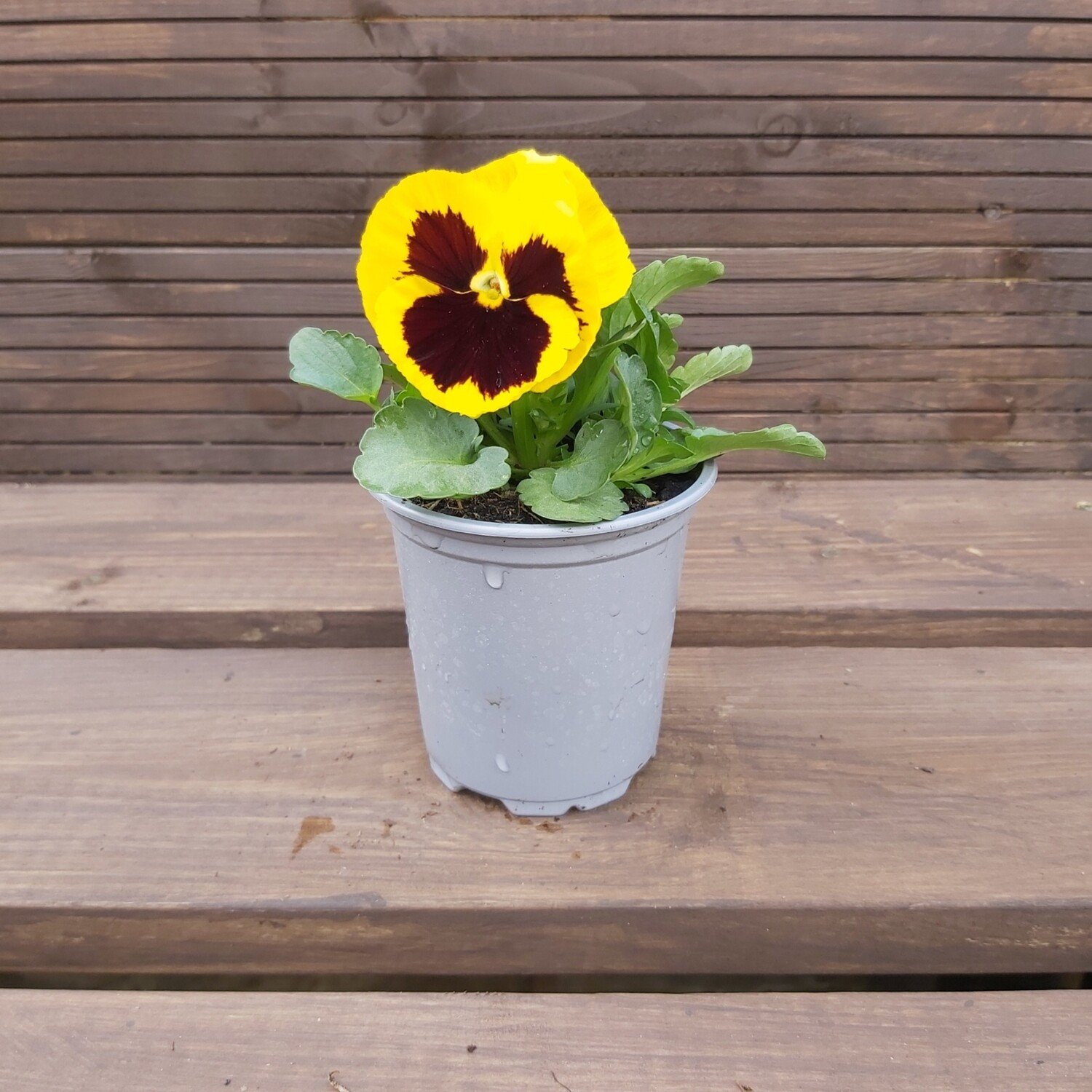 Pansy - Mixed colours