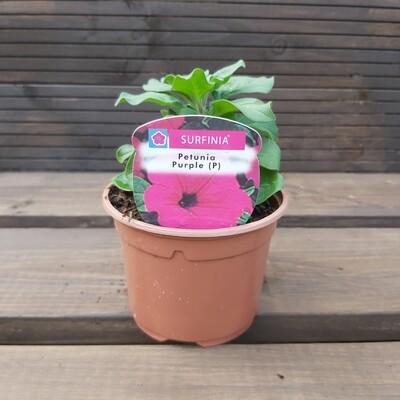 Petunia - Surfinia - Purple