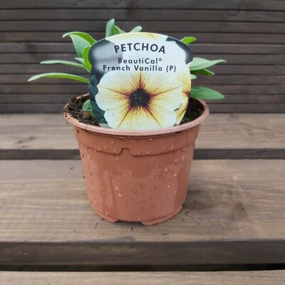 Petunia - Petchoa - French Vanilla