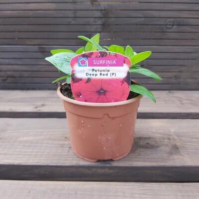 Petunia - Surfinia - Deep Red