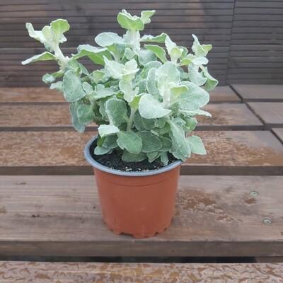 Helichrysum - Petiolare Silver