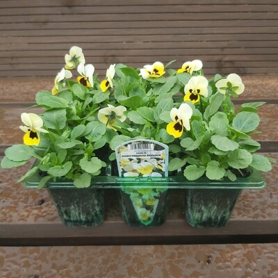 Viola - Mixed colours - 9 pack