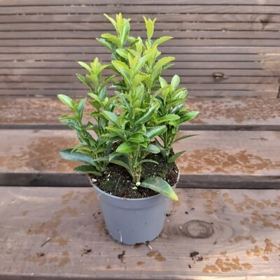 Euonymus - Various colours