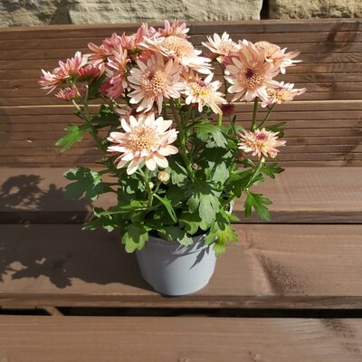 Chrysanthemum - Various Colours