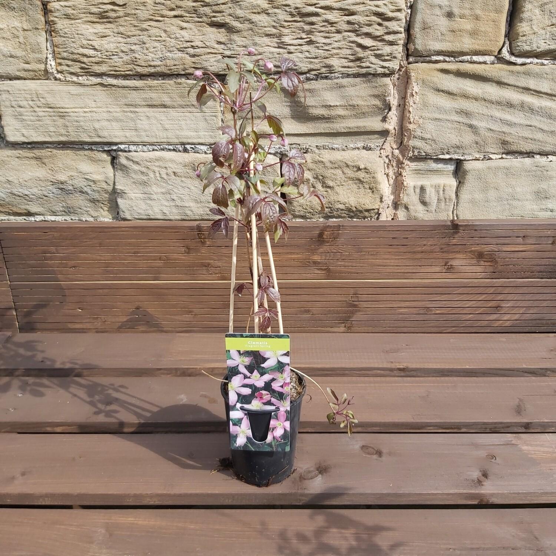 Clematis Fragrant Spring