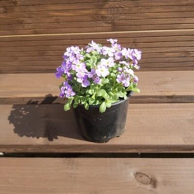 Aubrieta - Cascade blue