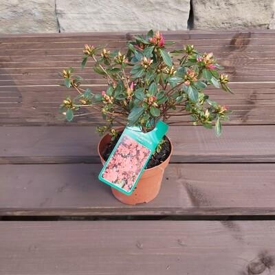 Rhododendron Azalea Japonica