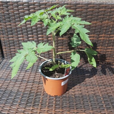 Tomato Plant - Moneymaker - Large