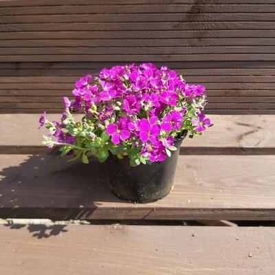 Aubrieta - Cascade Purple