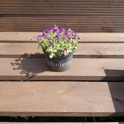Aubrieta - Kitte Purple